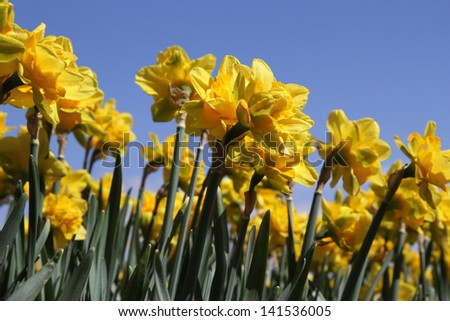 Yellow daffodils against a clear deep blue sky - stock photo
