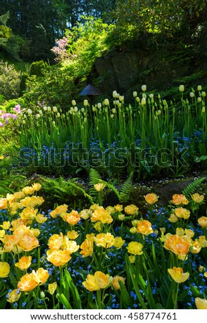Yellow daffodils are in full bloom with forget-me-nots hide their feet. - stock photo