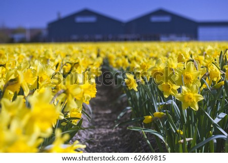 Yellow Daffodils Fields, Netherlands - stock photo