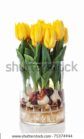 Yellow Daffodils growing in water in a glass cylinder vase - bulbs and roots in full view.  White background.