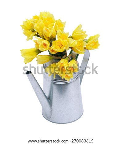 Yellow daffodils in metal watering can. Isolated on white with clipping path - stock photo