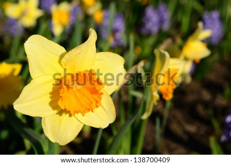 Yellow daffodils in the park