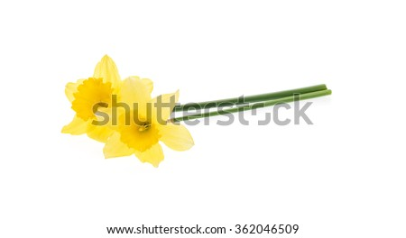 Yellow daffodils isolated on white. - stock photo
