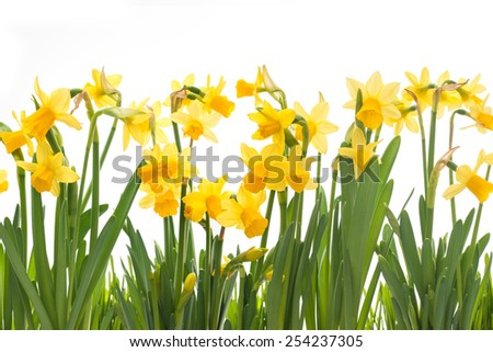Yellow daffodils isolated on white background - stock photo