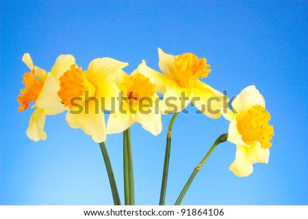 Yellow daffodils  on blue background - stock photo