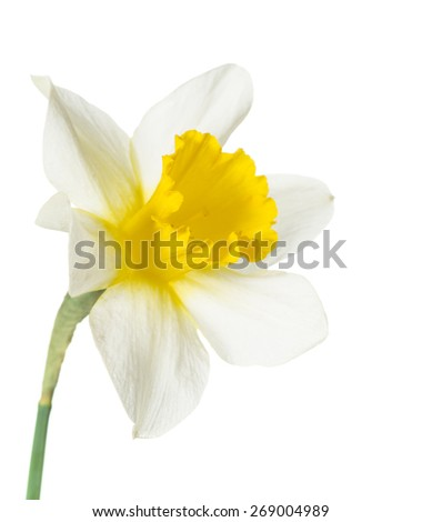 yellow daffodils on white background - stock photo