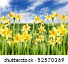 Yellow daffodils with blue sky and sun in the background - stock photo