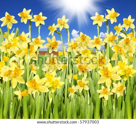 Yellow daffodils with sky and sun - stock photo