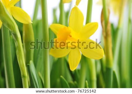 Yellow daffodils with  stems  and leaves in  bunch - stock photo