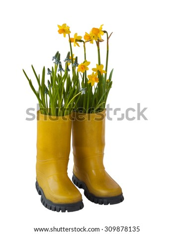 Yellow daffodils, yellow blue muscari and rubber boots isolated on white background - stock photo