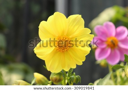 """Yellow """"Dahlia Chessy Lilliput"""" flower in Innsbruck, Austria. It is classified as """"Single Flowered Dahlia"""" and native to Mexico.  - stock photo"""
