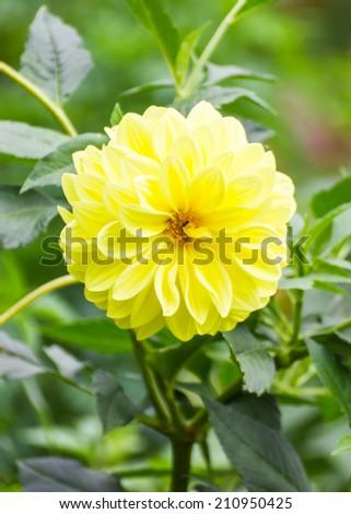 Yellow dahlia flower - stock photo