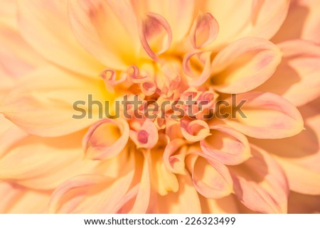 Yellow dahlia flowers - stock photo