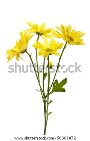 Yellow Daisies Isolated on White. Studio shot, perfect white isolated. Focus on center lower bloom.