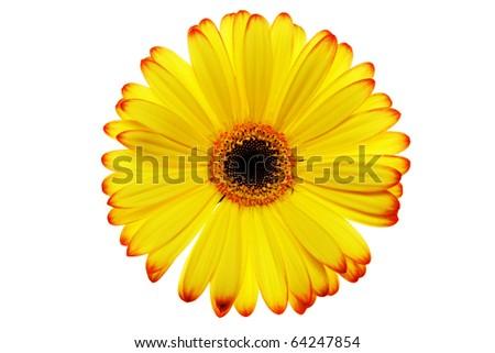Yellow Daisy Flower - stock photo