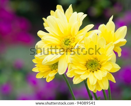 yellow daisy flower in the garden - stock photo