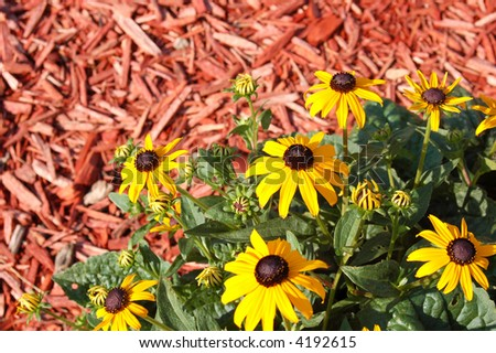 yellow daisy flowers and red mulch - stock photo