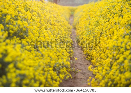 Yellow daisy flowers in Hung Yen, Vietnam