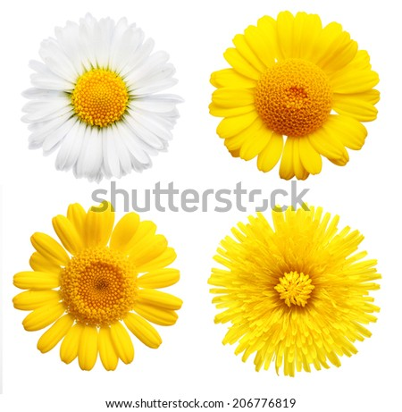 Yellow daisy flowers isolated on white background - stock photo