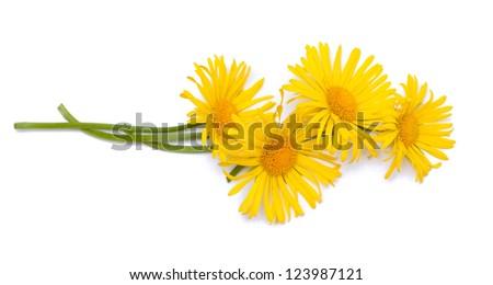 yellow daisy flowers over white - stock photo