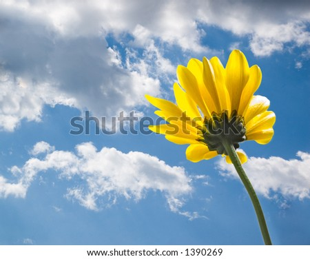 Yellow daisy from behind on blue summer sky - stock photo