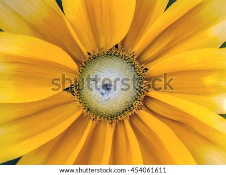Yellow Daisy in garden in summer Central Park NYC - stock photo