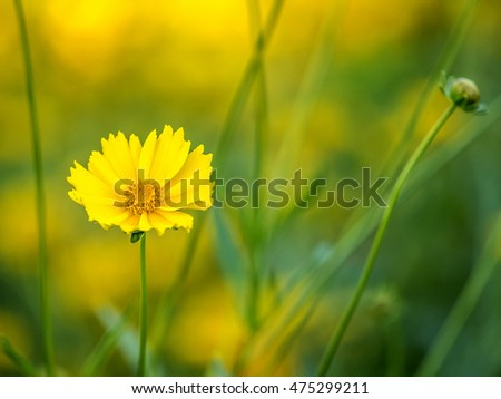 yellow daisy in garden in summer early morning