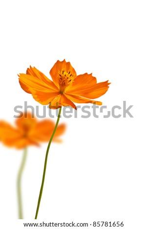 Yellow daisy isolate on white background - stock photo
