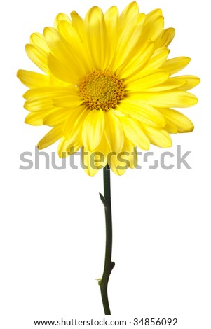 yellow daisy isolated on a white background