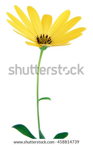yellow daisy isolated on white - stock photo