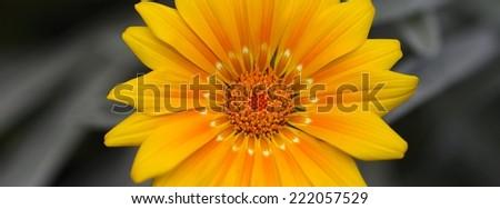 yellow daisy panorama - stock photo