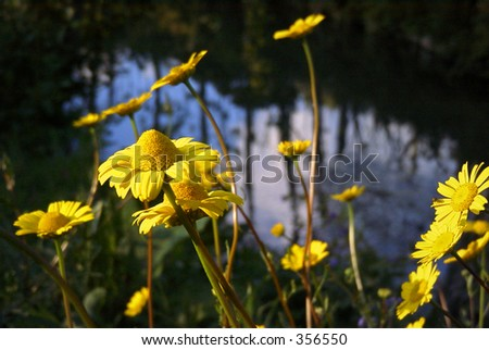 Yellow Daisy Upon a River - stock photo