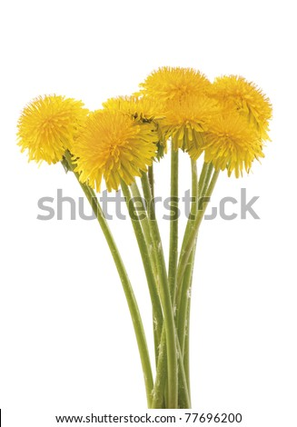 Yellow dandelion bouquet on white background. A vertical composition.