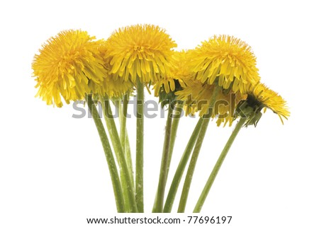 Yellow dandelion bouquet on white background. Horizontal composition.