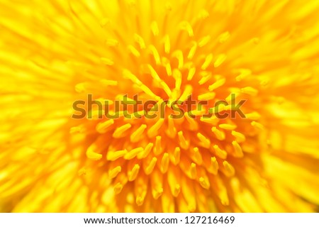 Yellow dandelion close up - stock photo