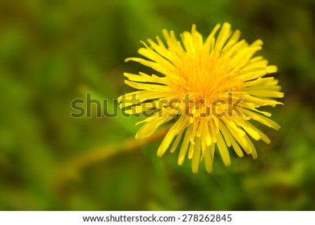 Yellow dandelion flower isolated on green meadow. - stock photo