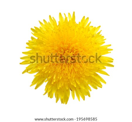 Yellow dandelion Flower isolated on white. Top view - stock photo