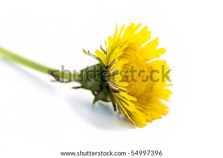 Yellow dandelion flower (taraxacum officinale) isolated on white - stock photo