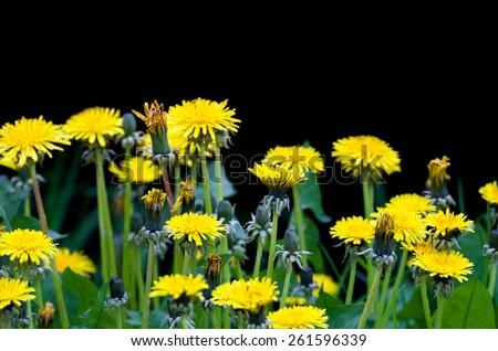 Yellow Dandelion Flowers Isolated on Black Horizontal - stock photo