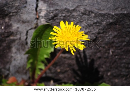 Yellow dandelion flowers with leaves in little stone