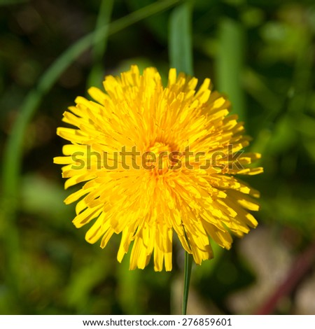 Yellow dandelion in blooming time, view from above - stock photo