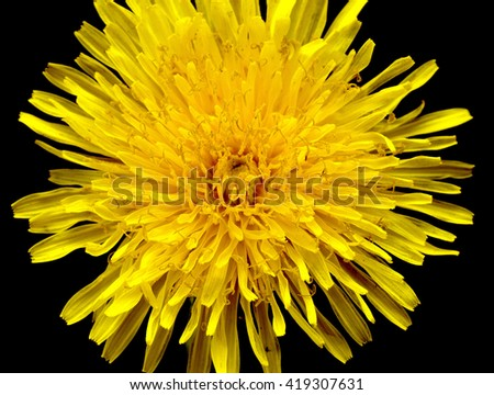 yellow dandelion on a black background