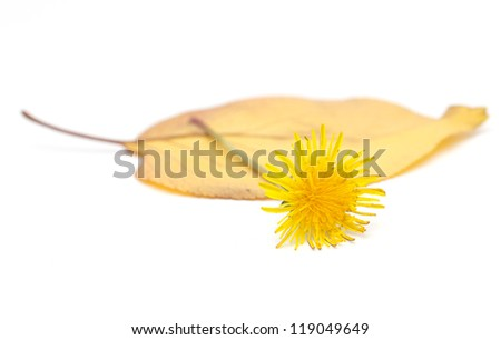 yellow dandelion on a white background - stock photo