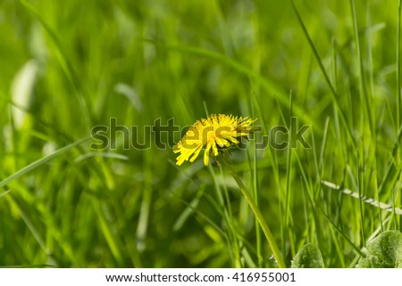 Yellow dandelion on the lawn - stock photo