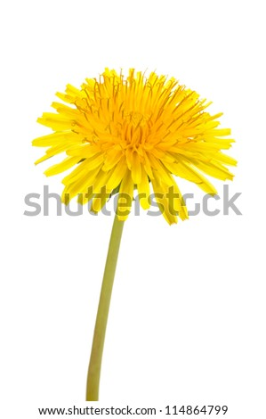 Yellow Dandelion (Taraxacum Officinale) Flower on White Background