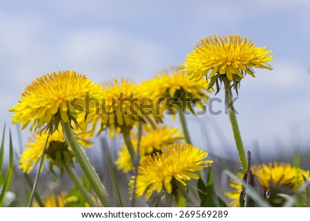 yellow dandelion with blue background sky on field - stock photo
