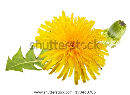 yellow dandelion with green leaves on a white background - stock photo