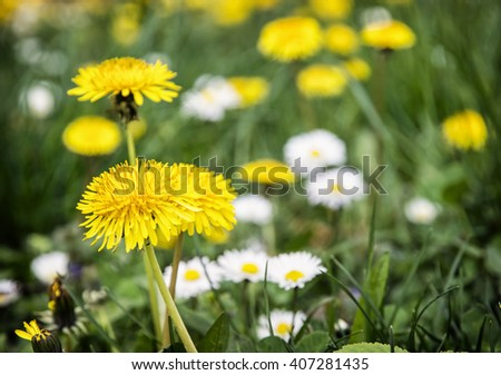 Yellow dandelions and ox-eye daisies in the meadow. Close up natural scene. - stock photo