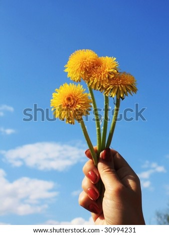 Yellow dandelions in hand on blue sky.
