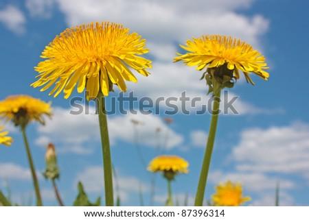 Yellow dandelions on the sky background - stock photo